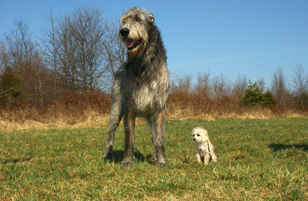 irish wolfhound vs scottish deerhound 2