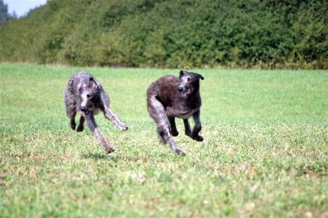 irish wolfhound vs scottish deerhound 3