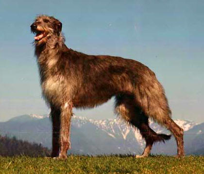 irish wolfhound vs scottish deerhound 4