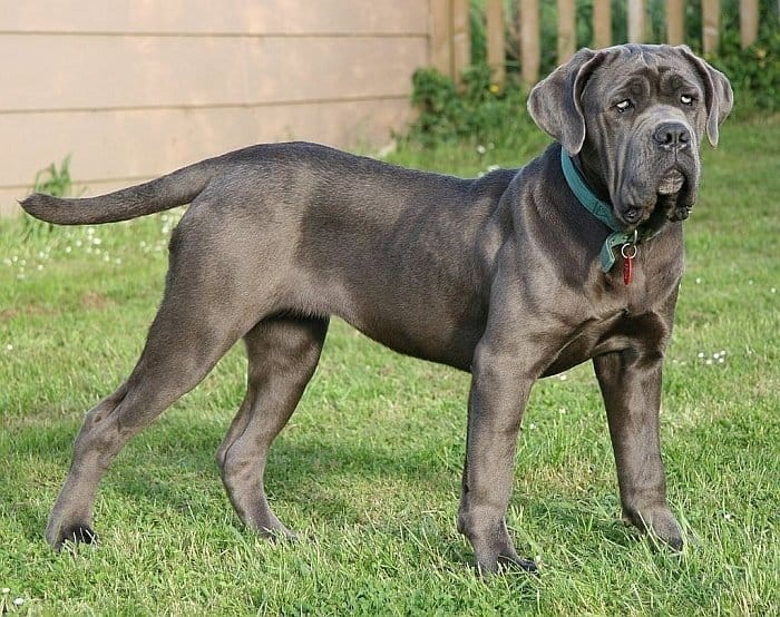 large breed dog 57