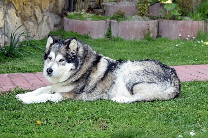 large breed dogs 51