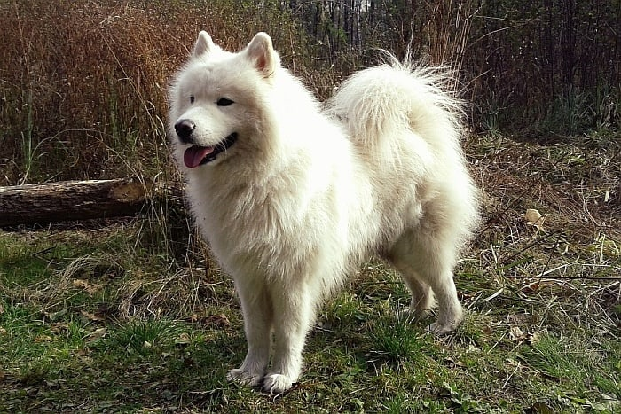 large dog breeds 2