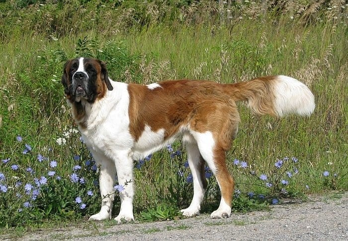 large dog breeds 50
