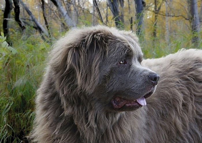 large dog breeds 70