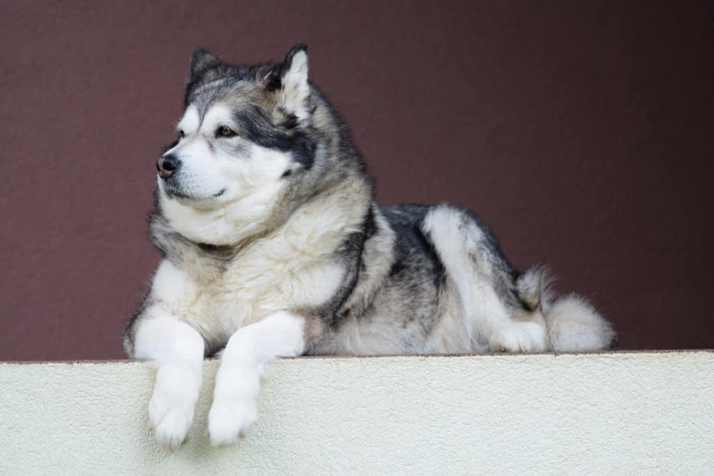 Alaskan Malamute Long Living Breed