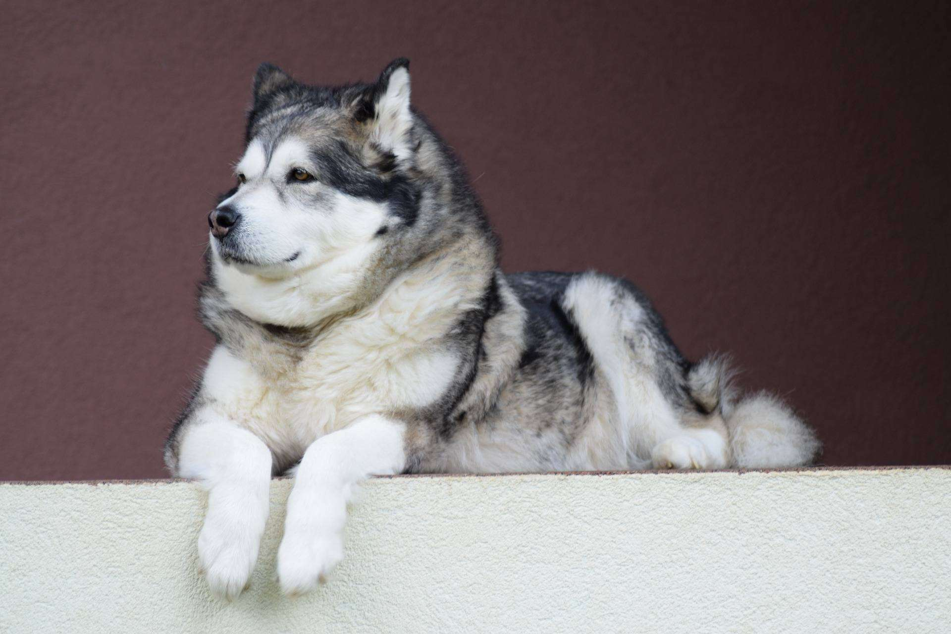 Alaskan Malamute Long Living Breed