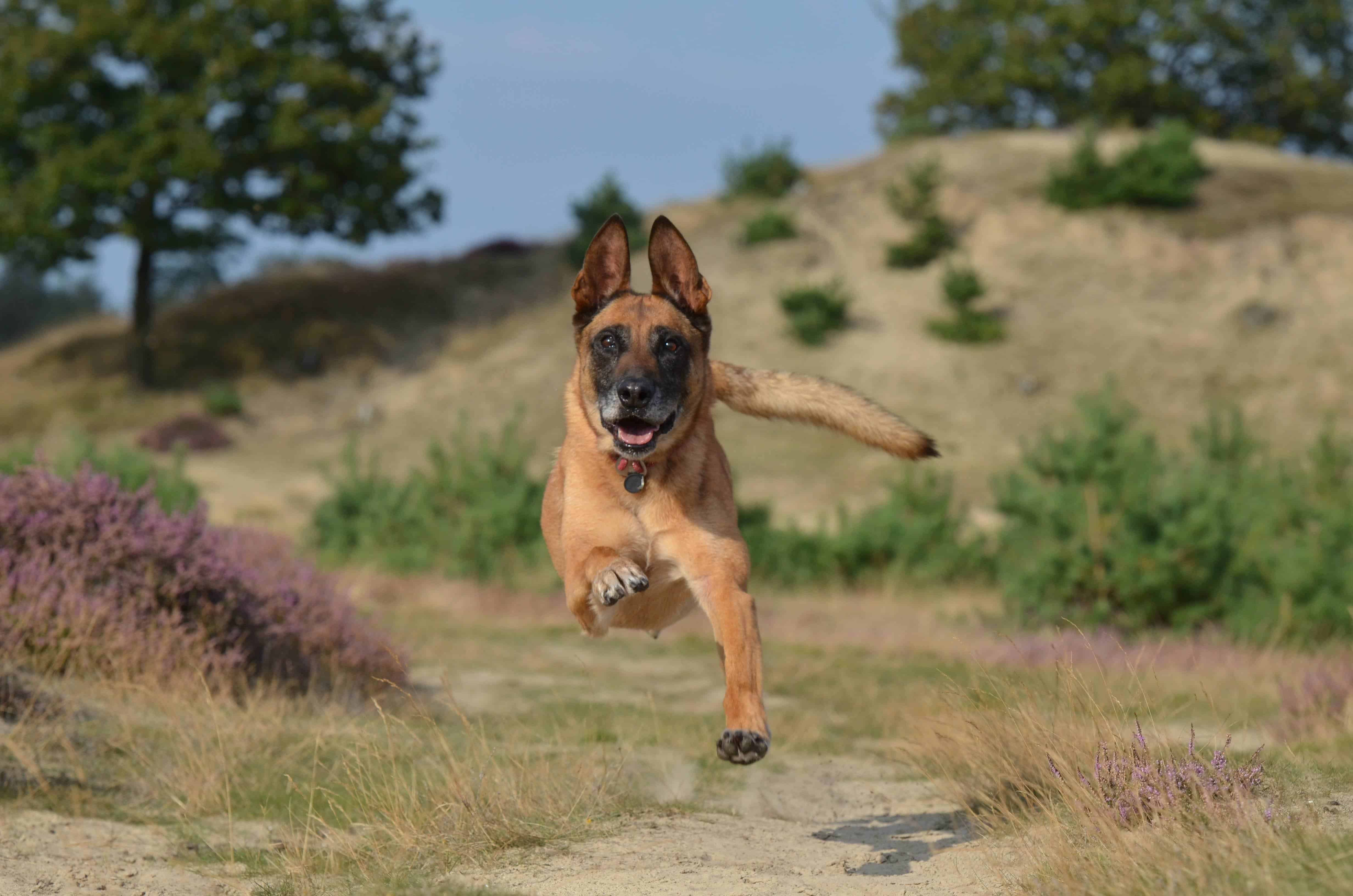 Belgian Malinois Long Living Breed