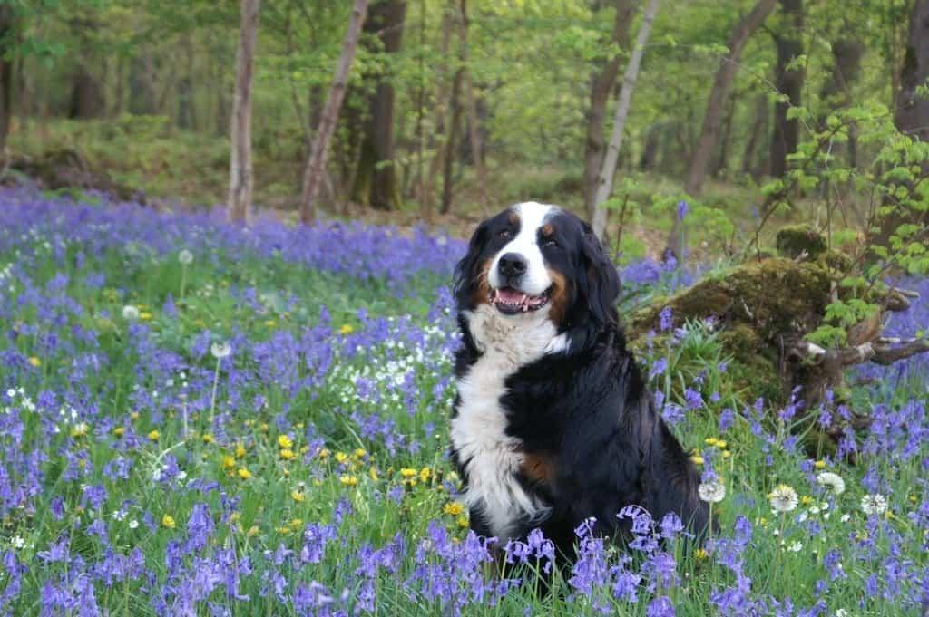 Bernese Mountain Dog life expectancy