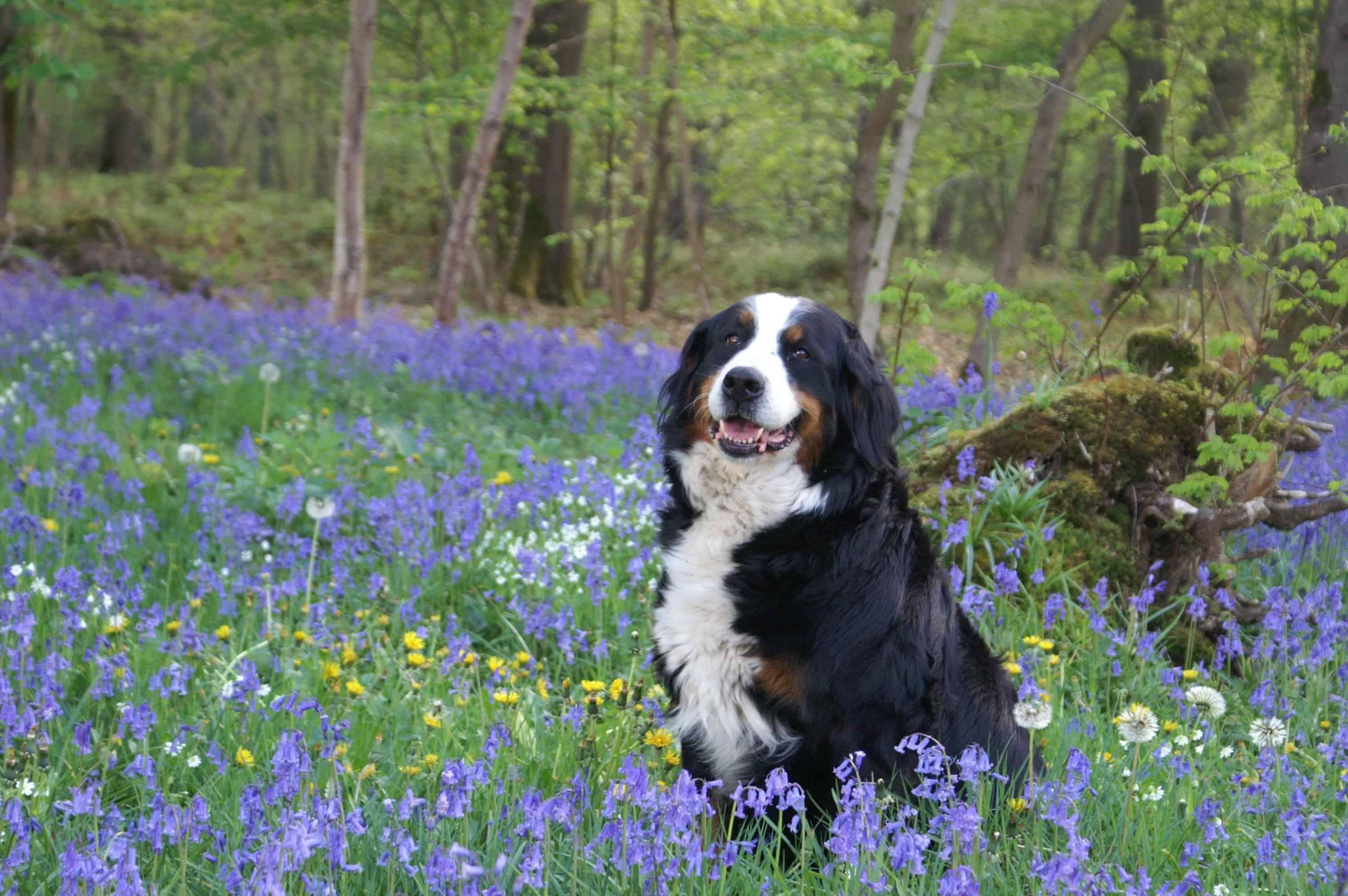 Bernese Mountain Dog Breed