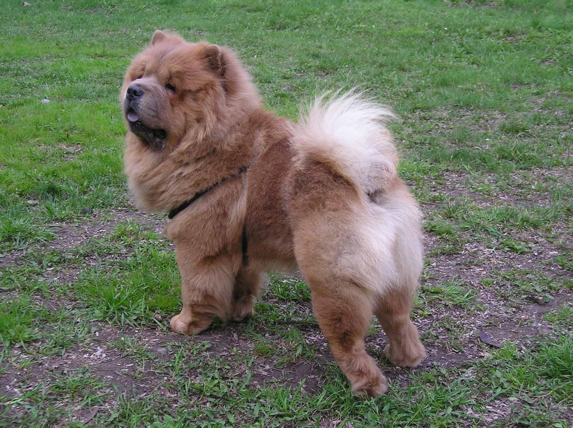 Chow Chow Long Living Breed