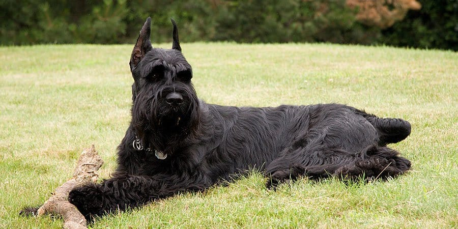 Giant Schnauzer Long Living