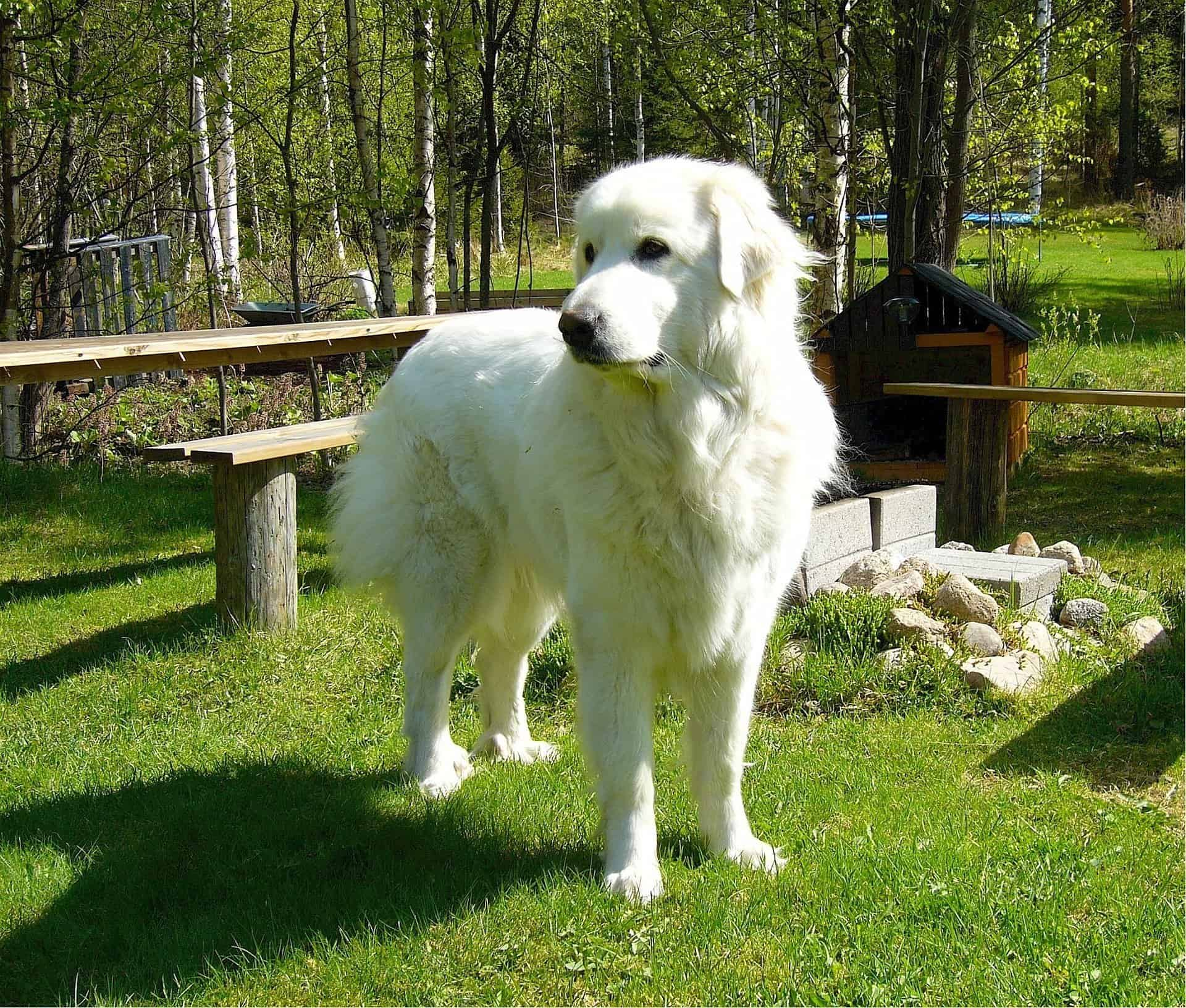 Great Pyrenees Dog Breed