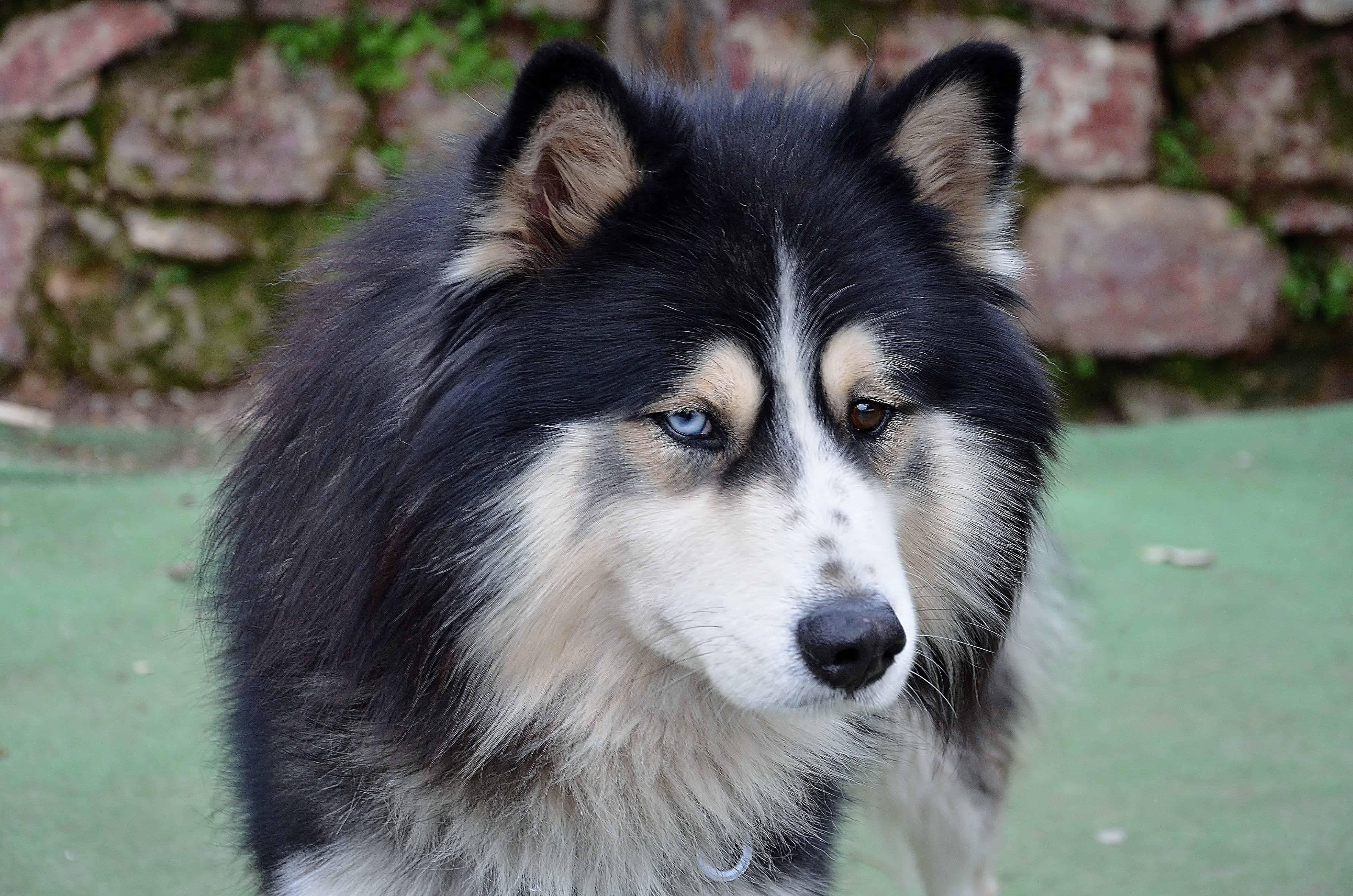 Long-Coated Malamute Dog Breed