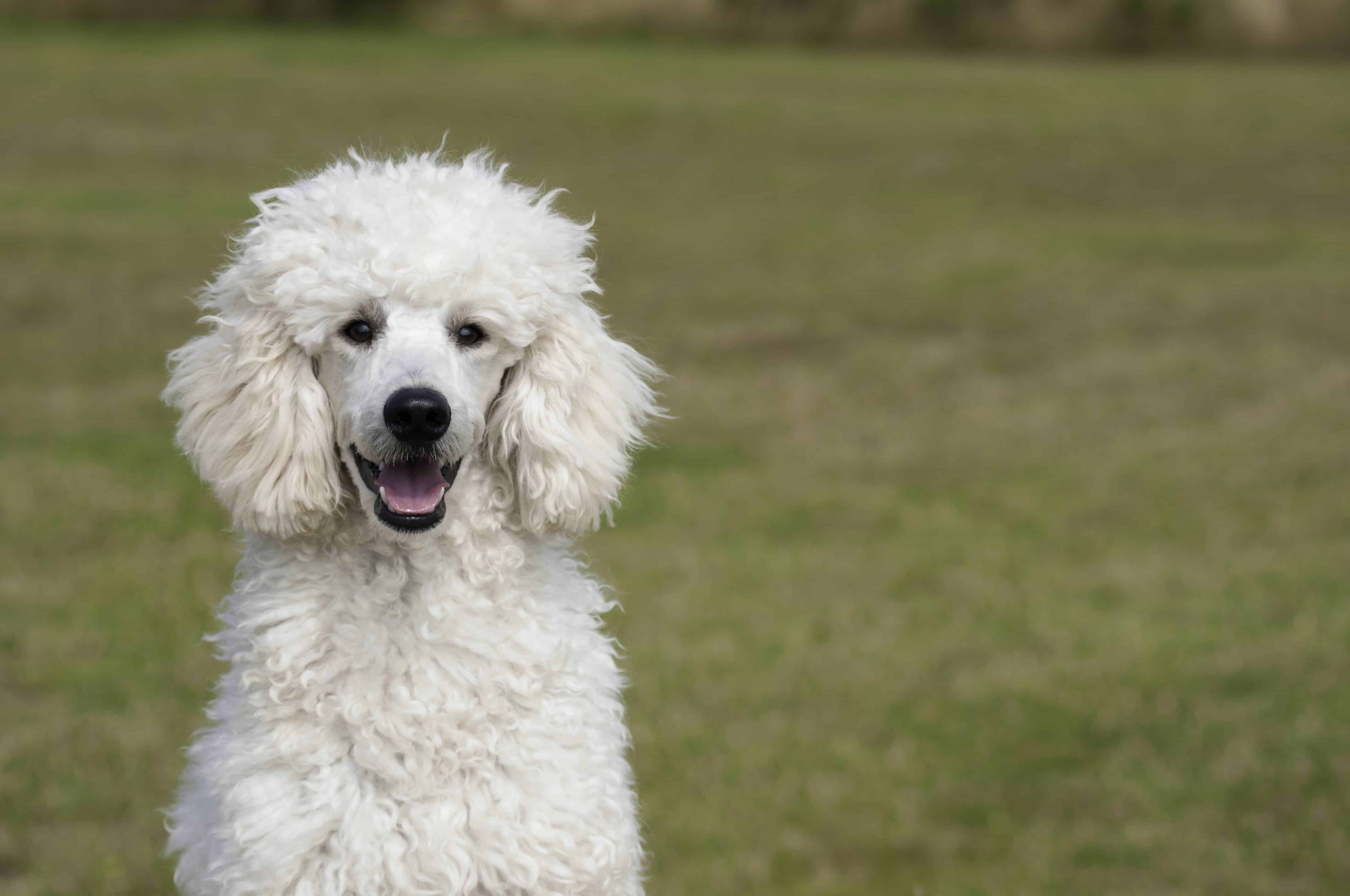 Standard Poodle Long Living Breed