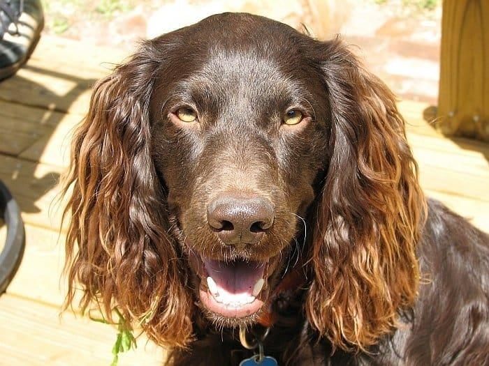 best retrieving dogs 1