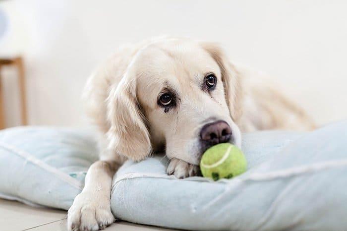 best retrieving dogs 4