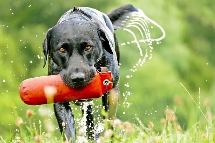 best retrieving dogs 7