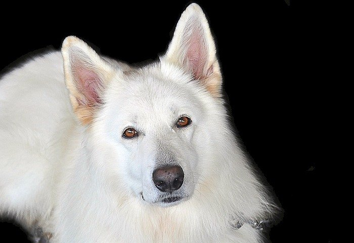 Best big white dogs 12