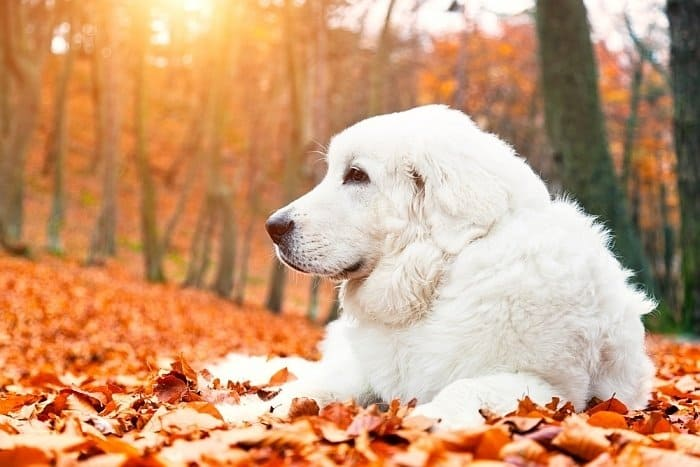 Best big white dogs 13