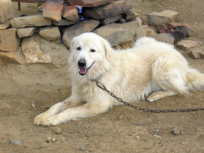 Best big white dogs 14