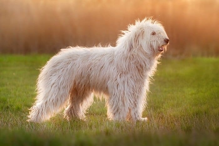 Best big white dogs 16