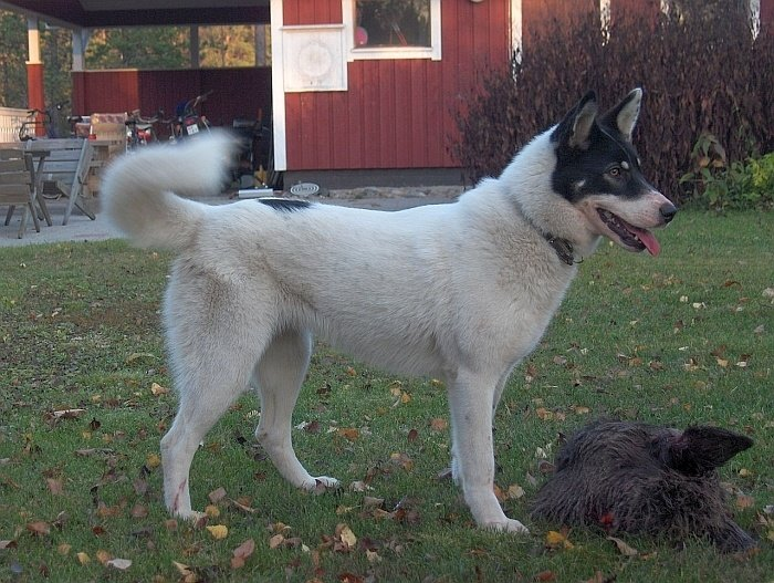 Best big white dogs 17