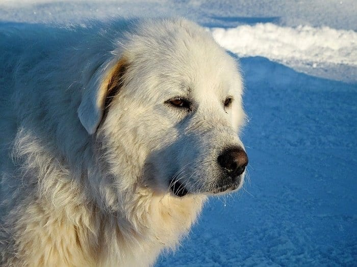 Best big white dogs 3