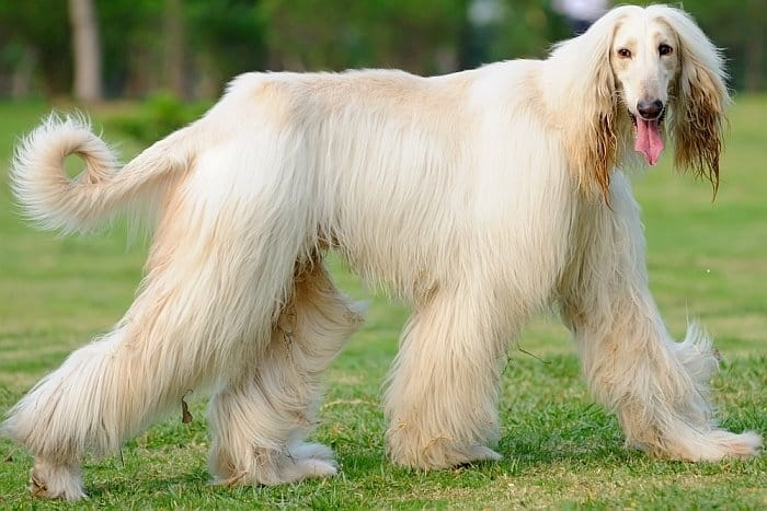 Best big white dog 5