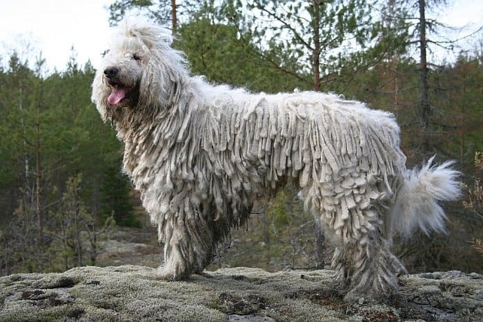 Best big white dogs 9