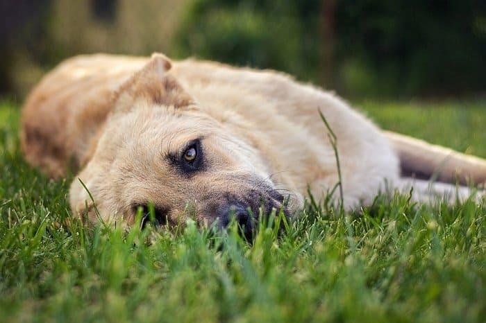 Best large dog breeds 15