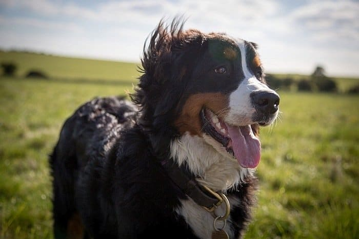 Best large dog breeds 7