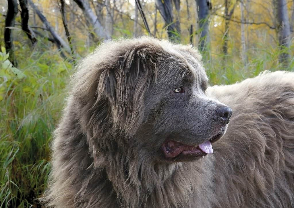 extra-large dog breeds 10
