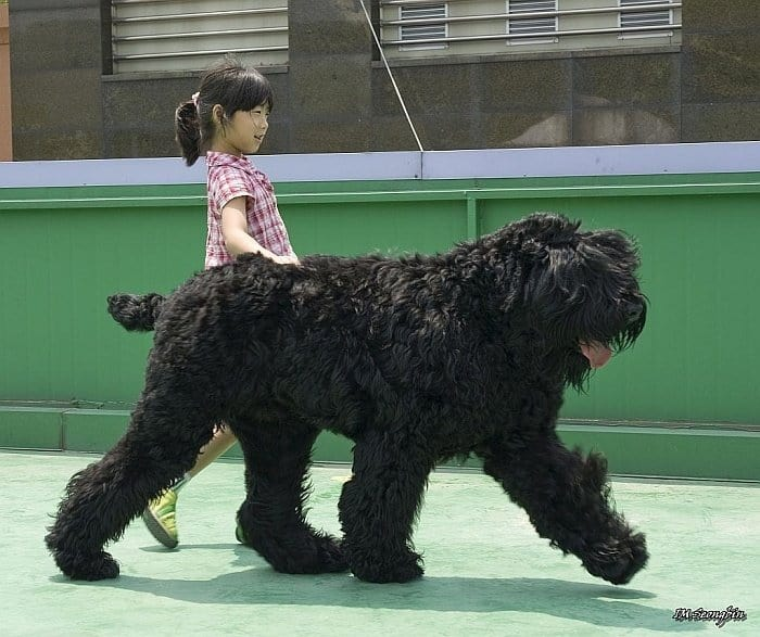 best extra-large dog breeds 5