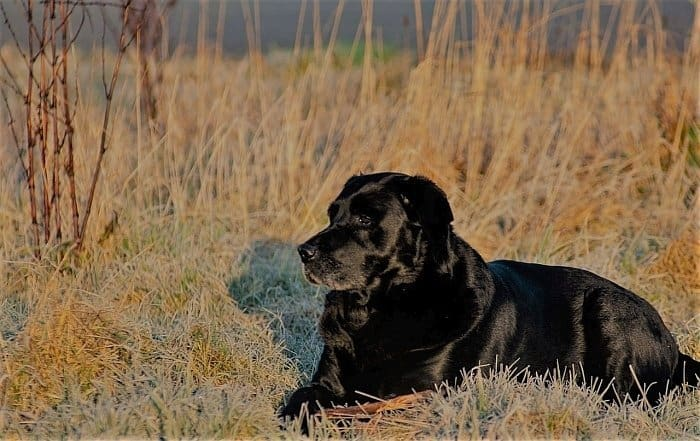best food for labradors
