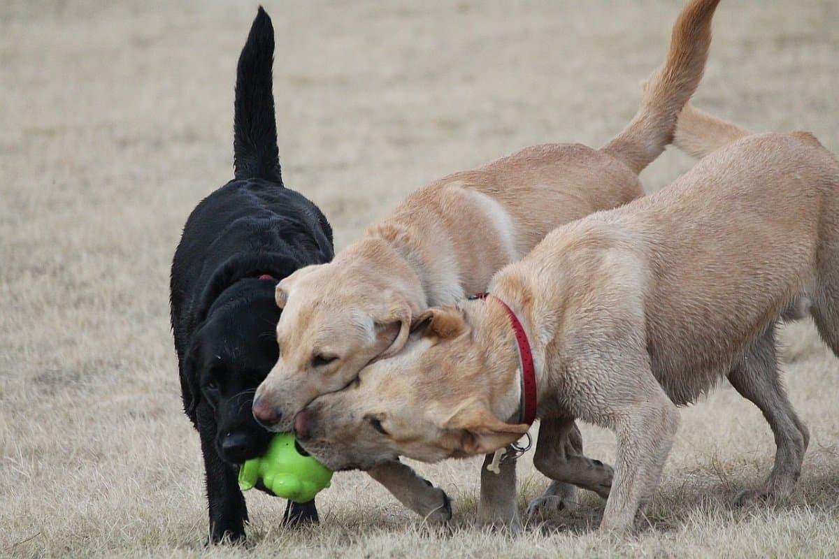Best dog food for Labrador retrievers