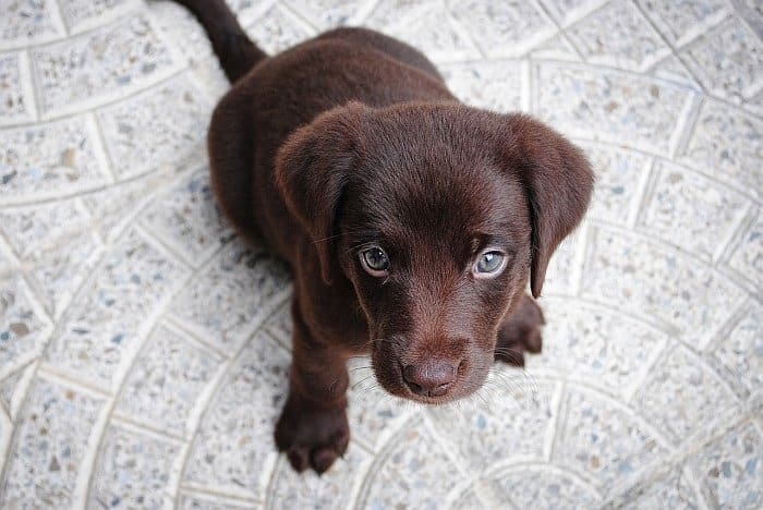 best dog food for lab puppies