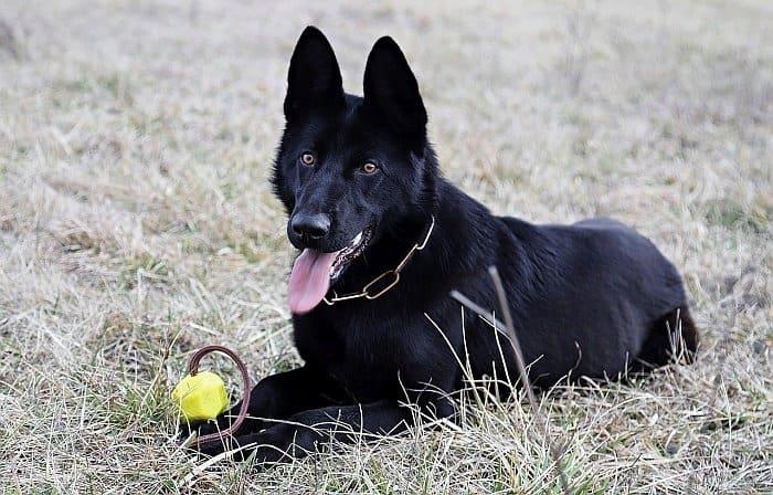Black German Shepherd Dog 2