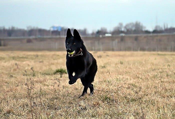 Black German Shepherd Dog 4