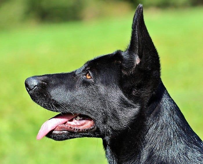 Black German Shepherd Dog 5