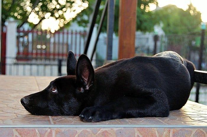 Black German Shepherd Dog 7