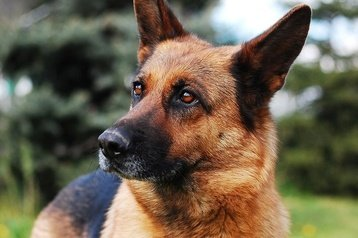 german shepherd dog food 1