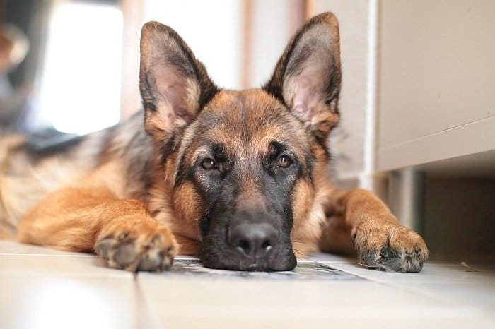 best senior dog food for german shepherds