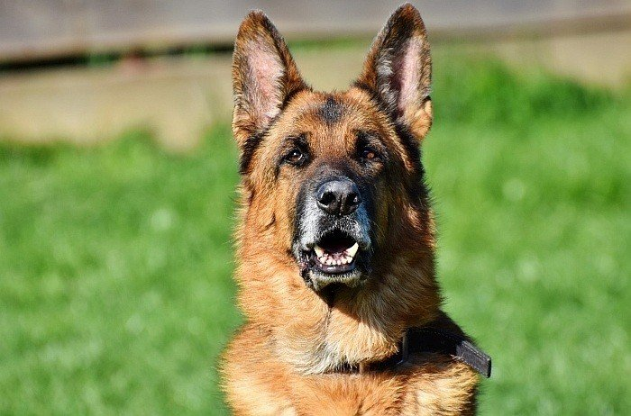 german shepherd dog food 8