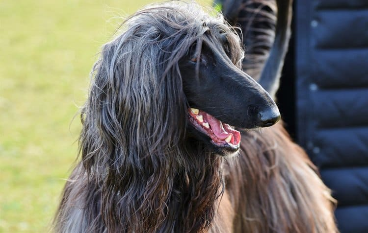 Afghan Hound large-long haired dog