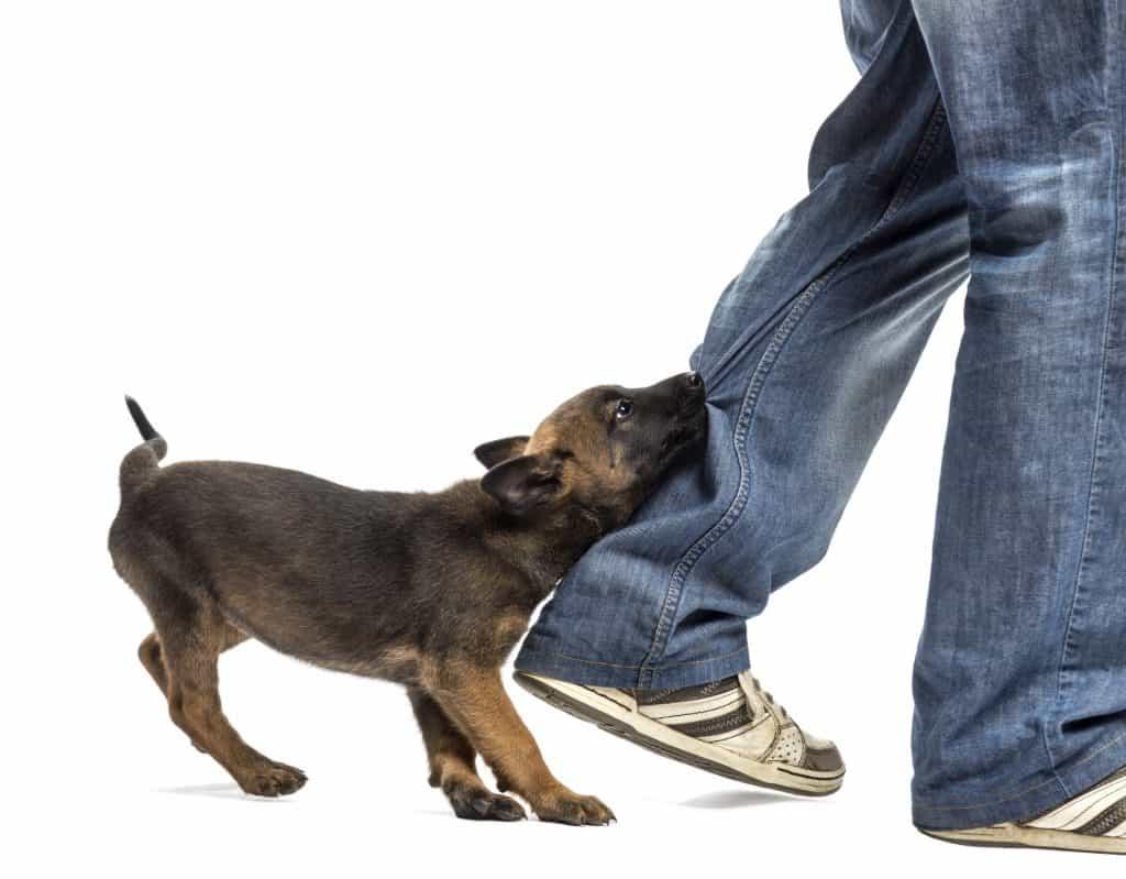 puppy biting leg