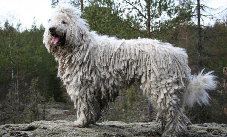 Komondor large long-haired dog