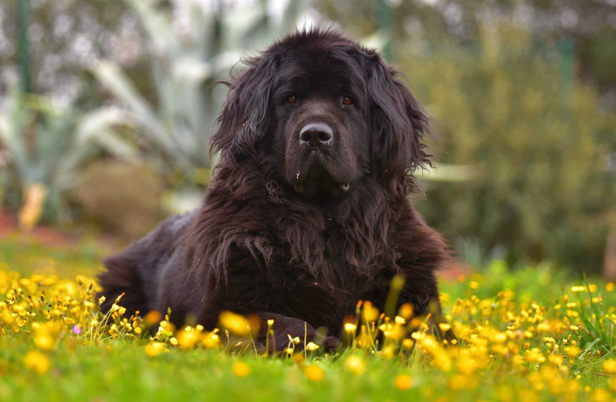newfoundland dog health problems