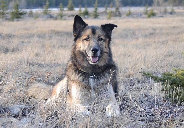 German Shepherd Husky Mix: All About the Gerberian Shepsky