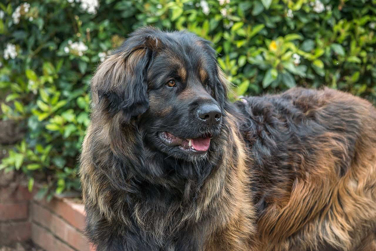 Leonberger Dog Breeds: Size, Pictures, Health & More ...