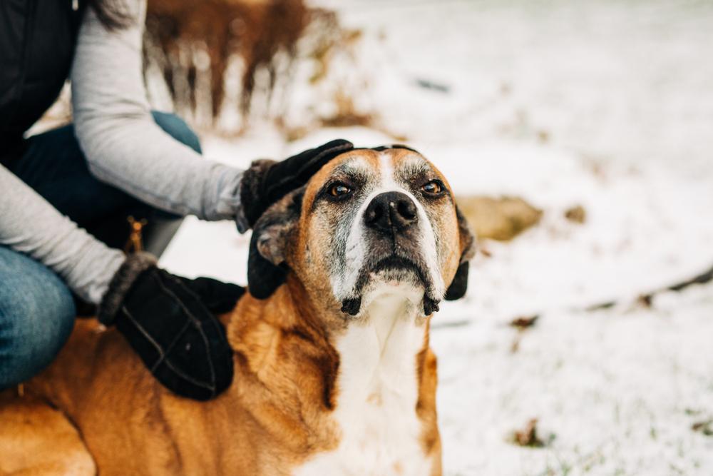 boxer labrador dog